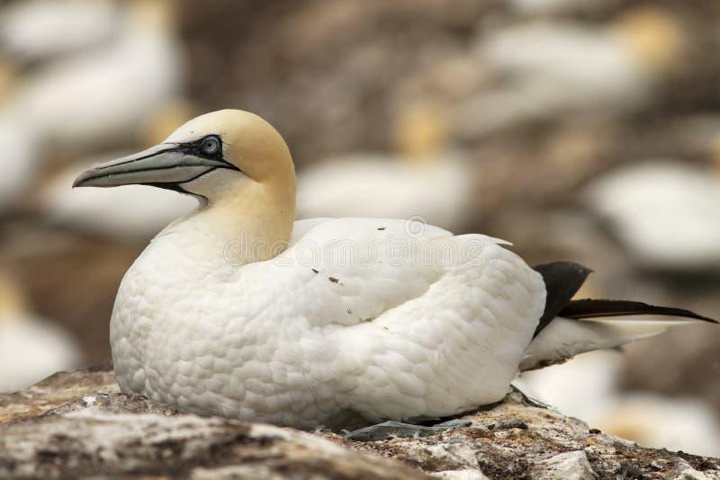 Gannet do norte que senta-se em seu ninho fotos de stock royalty free