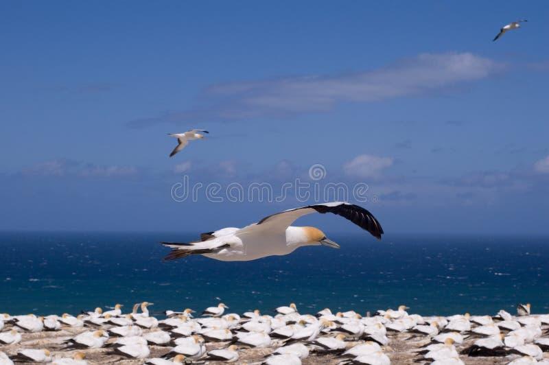 Gannet en vol images libres de droits