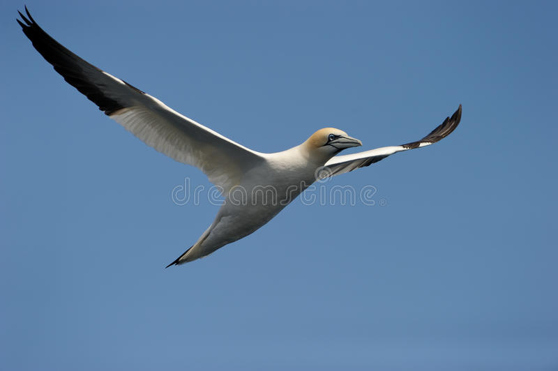Gannet en vol. photographie stock