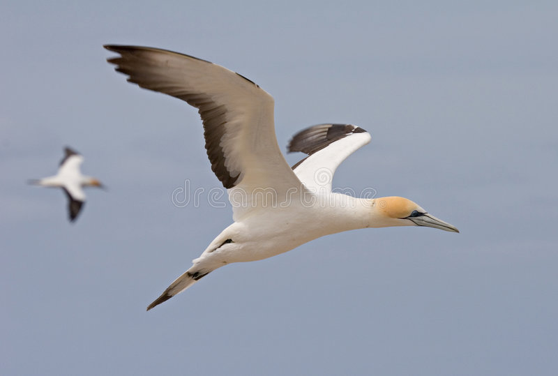 Gannet in flight. With second bird out of focus behind stock image