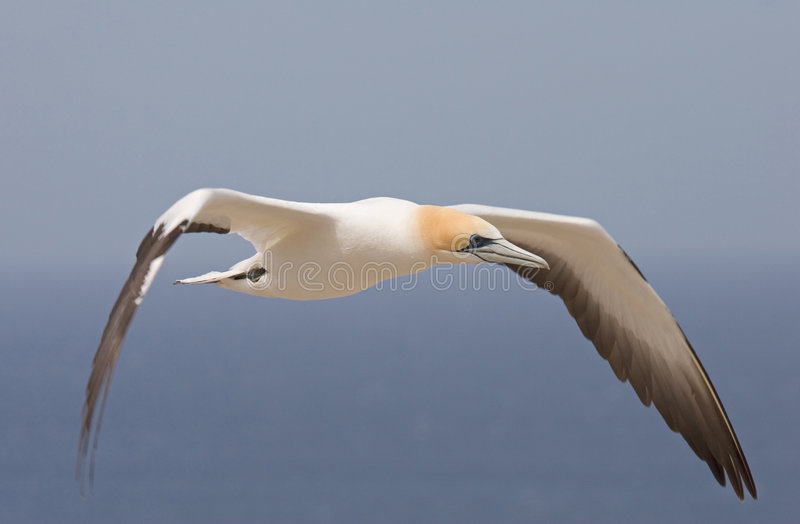Download Gannet in flight stock photo. Image of flying, colony, wildlife - 501906