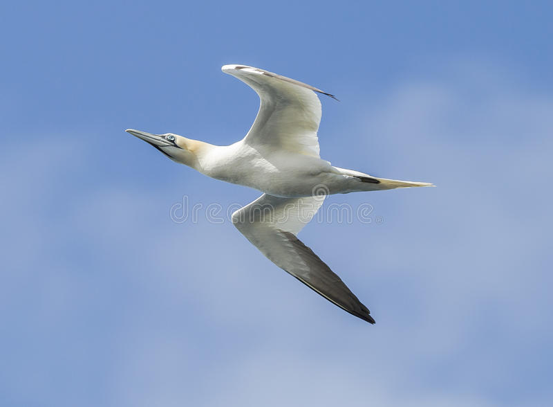 Gannet. Flying along the coast stock photo