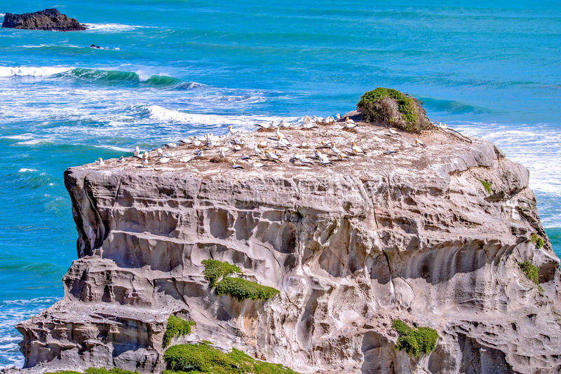 Gannet habitat. At Muriwai, Auckland, New Zealand stock photography