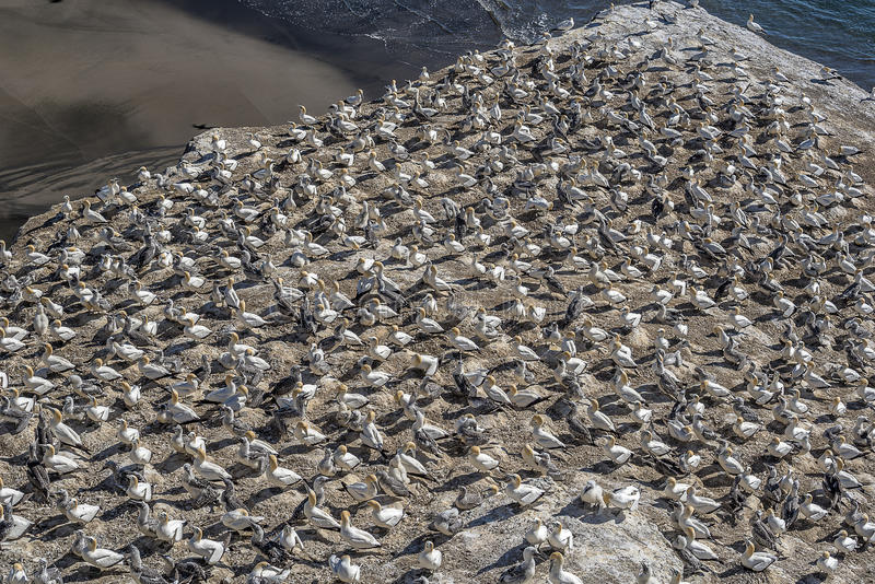 Gannet habitat. At Muriwai, Auckland New Zealand stock image