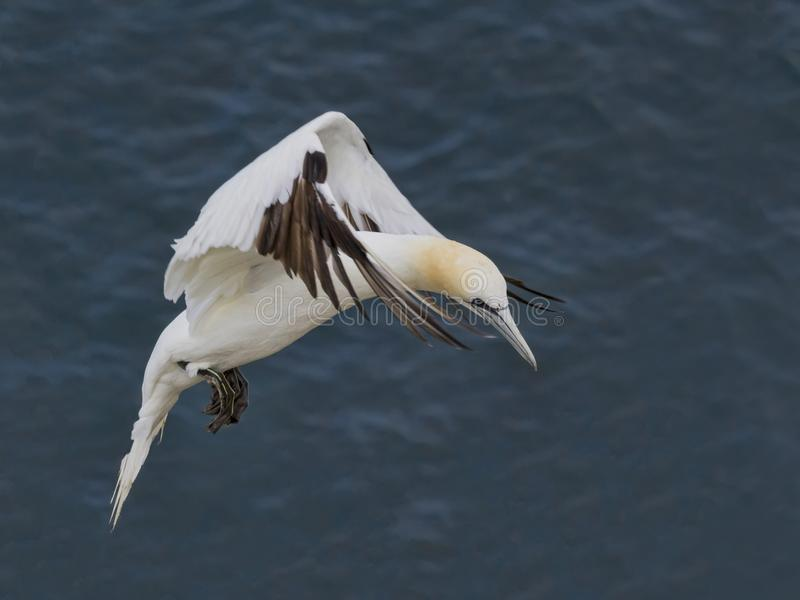 Gannet hovering. In flight over blue sea stock image