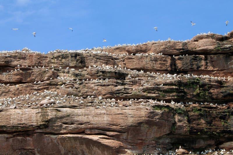 Gannet koloni arkivfoton