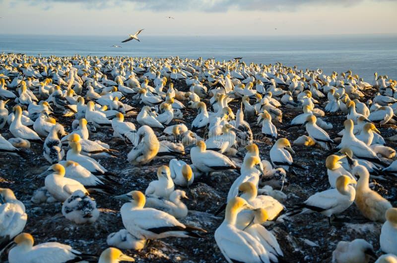 Gannet kolonia przy przylądków porywaczami w Hawkes zatoce blisko Hastings na Północnej wyspie, Nowa Zelandia obraz stock