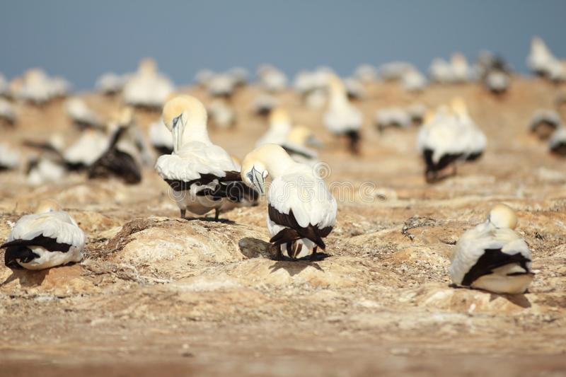 Gannet kolonia w przylądków porywaczach zdjęcie stock