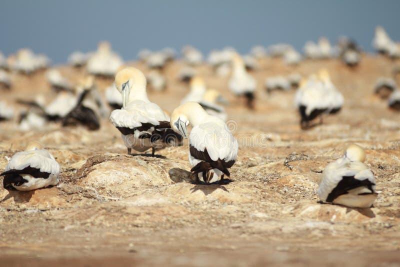 Gannet-Kolonie in den Kap-Entführern stockfoto