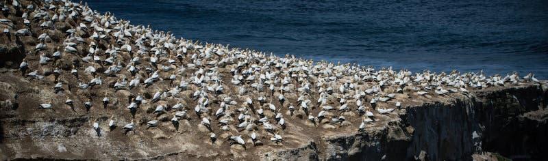 Gannet-Kolonie, Muriwai, neues Zealand-4 lizenzfreie stockfotografie