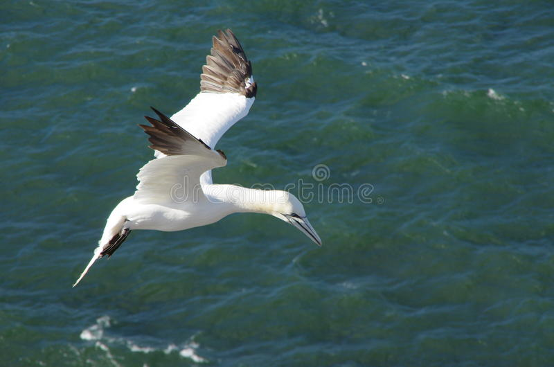 Gannet in mid air. Flying gannet at the cliff of Helgoland stock image