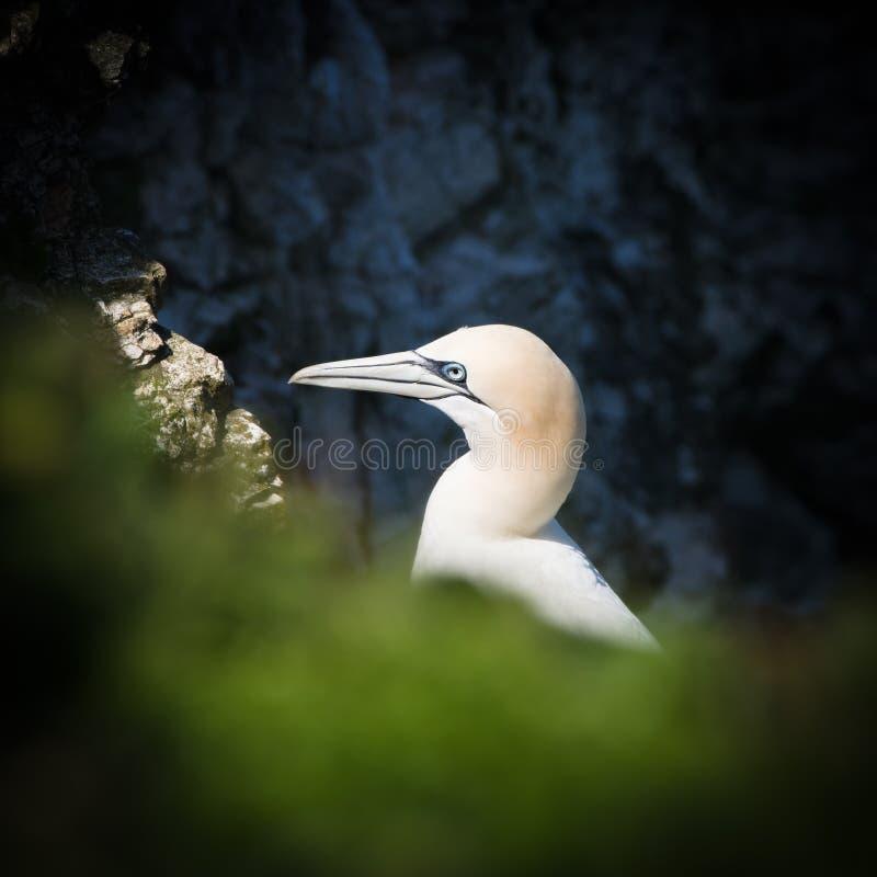 Free Gannet - Morus - Sulidae - Bempton Cliffs - North Yorkshire Stock Photos - 71464743