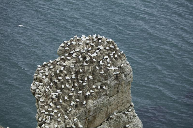 Gannet nesting on an outcrop of rock over the North Sea near Bempton Cliffs, Yorkshire, UK. stock image