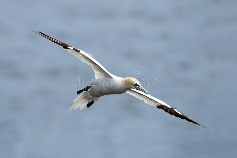 Gannet nordique en vol photo libre de droits