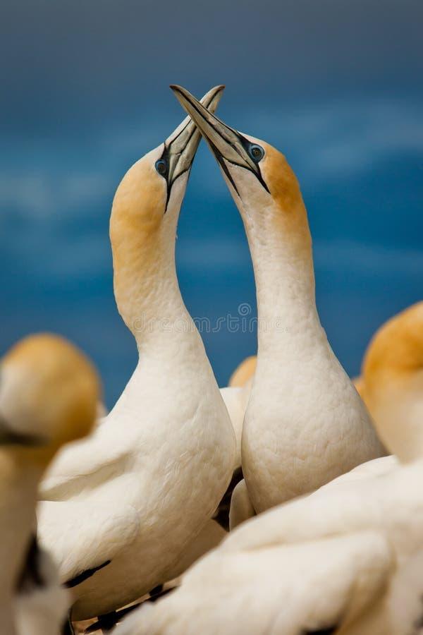 Gannet para w miłości w birs koloni oceanem, Nowa Zelandia zdjęcie royalty free