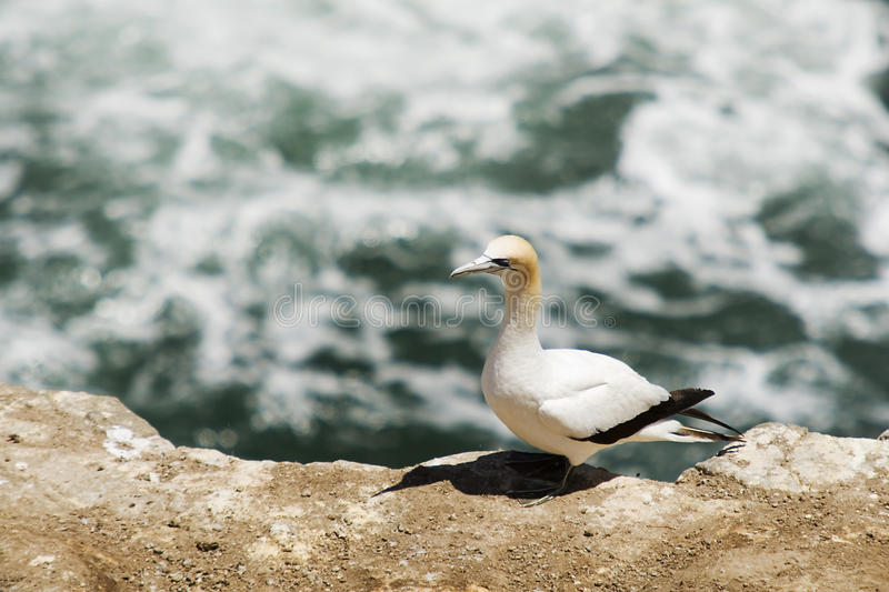 A Gannet Perches On The Cliff Top stock photography