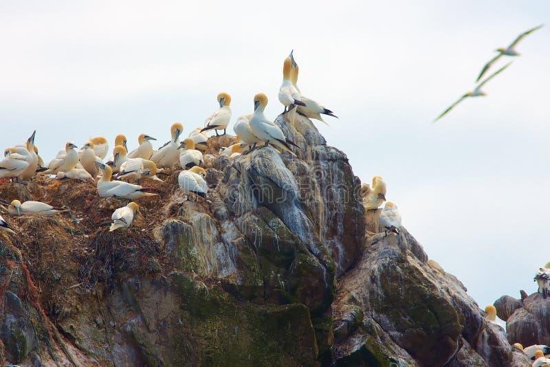Gannet septentrional foto de archivo