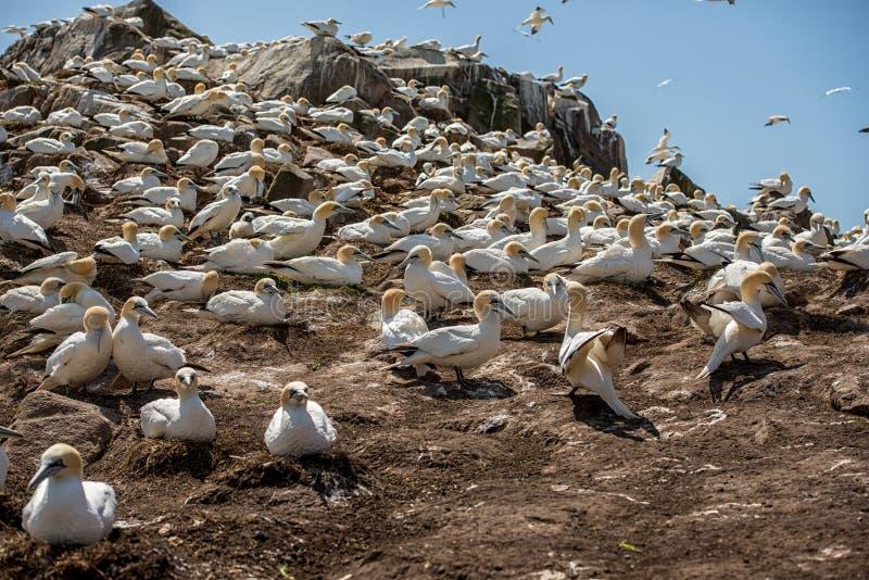 Gannet septentrional fotografía de archivo