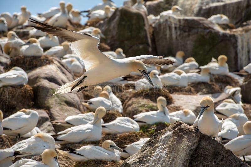 Gannet septentrional imagenes de archivo