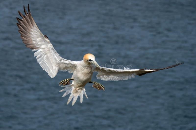Gannet septentrional - bassanus del Morus en vuelo, Yorkshire imagenes de archivo