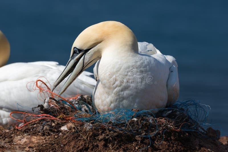 Gannet septentrional que prepara la jerarquía de pedazos de redes de los pescadores imágenes de archivo libres de regalías