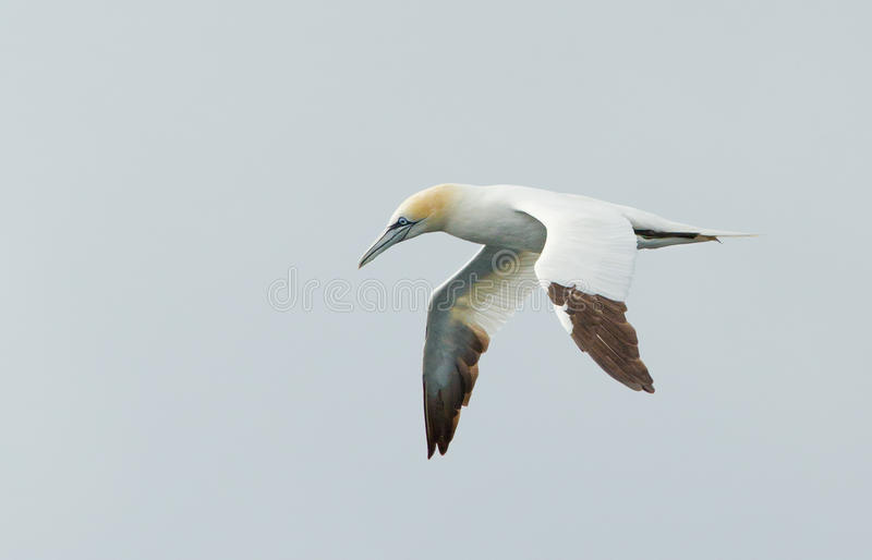 Gannet in the sky. Gannet flying in the sky royalty free stock photography