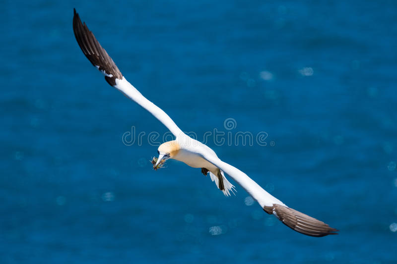 Gannet, St. Mary`s Ecological Reserve, Newfoundland royalty free stock photo