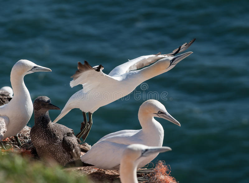 Gannet taking of. From nest and heading the sea stock photos