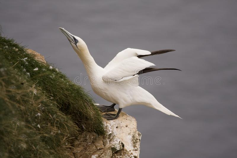 Download Gannet at Troup Head stock image. Image of gannet, beak - 18297753
