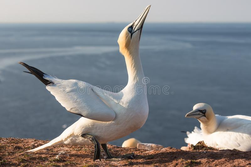 Gannet trying to impose female bird in breeding colony Helgoland. Northern gannet trying to impose a female bird in breeding colony at Helgoland island, Germany stock image