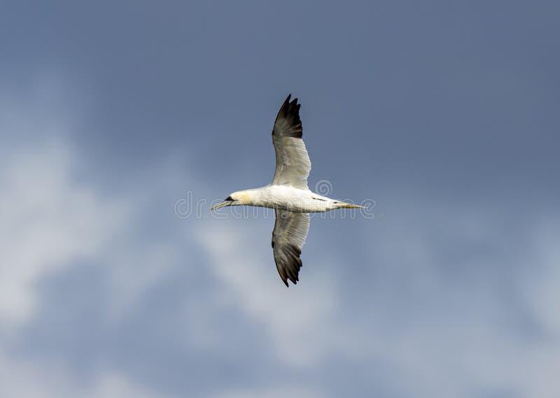 Gannet volant dans le ciel bleu images libres de droits