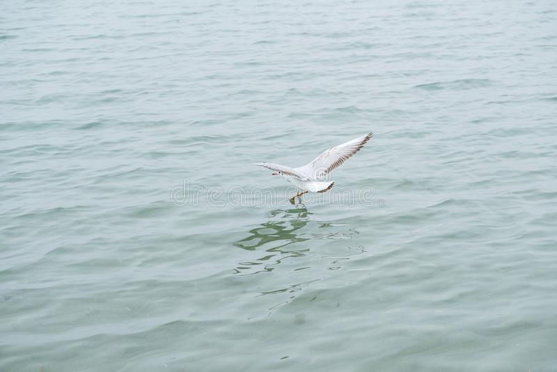 Gannet w locie nad morzem zdjęcie royalty free