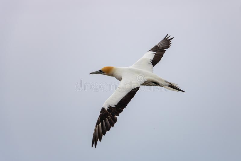 Gannet wingspan while in flight. Cape kidnappers gannet colony in napier, New Zealand stock photography