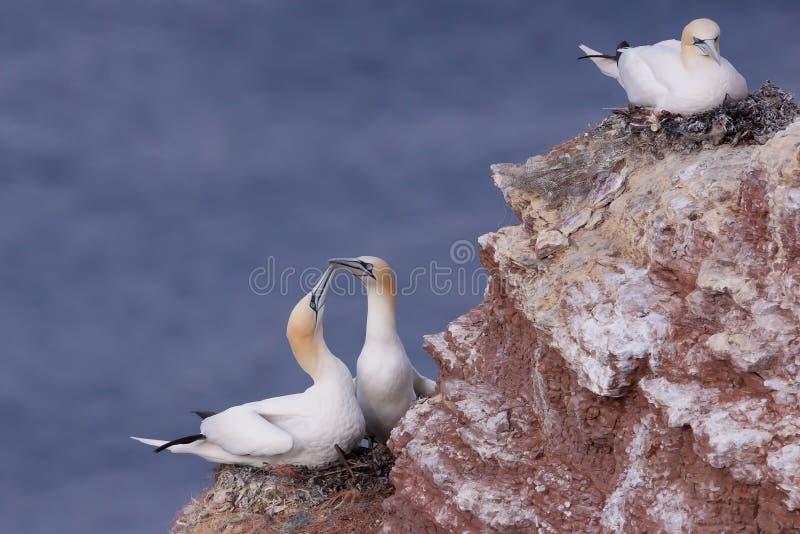 gannets嵌套 免版税库存照片