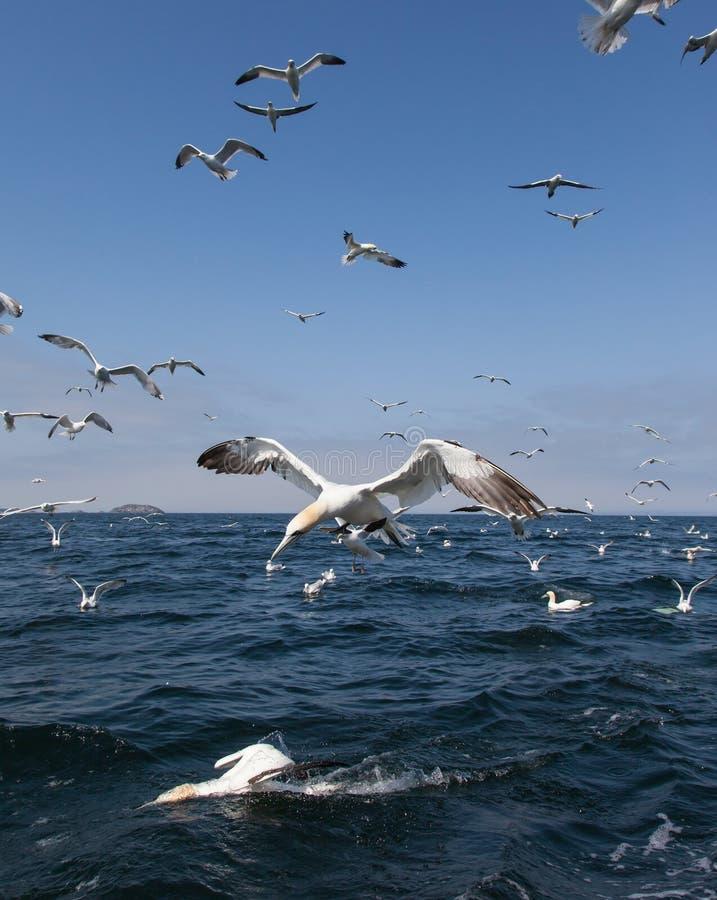 Gannets潜水 免版税库存图片