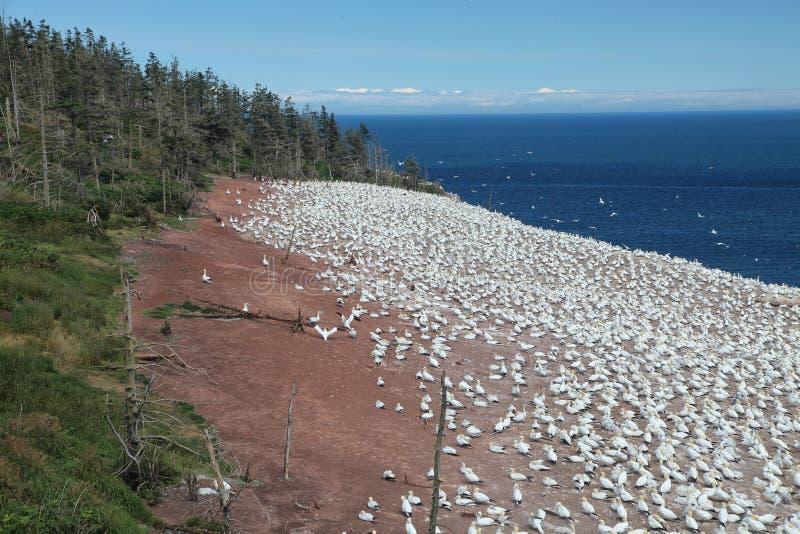 gannets βόρειος στοκ φωτογραφία με δικαίωμα ελεύθερης χρήσης
