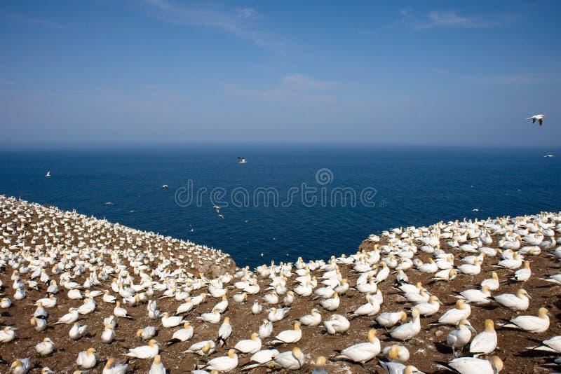 gannets βόρειος στοκ εικόνα με δικαίωμα ελεύθερης χρήσης