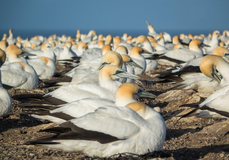Gannets на похитителях людей накидки стоковые фото