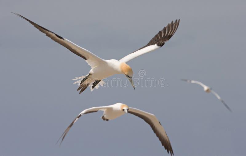 gannets полета стоковая фотография