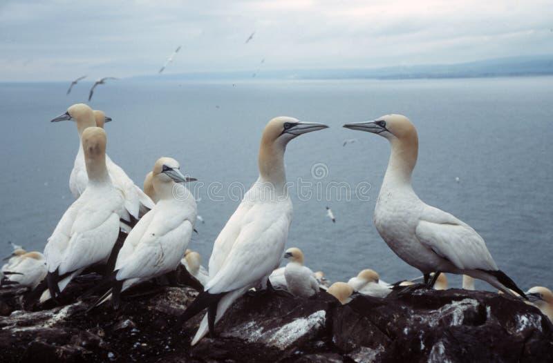 Download Gannets obraz stock. Obraz złożonej z seabird, faleza, scotland - 133291