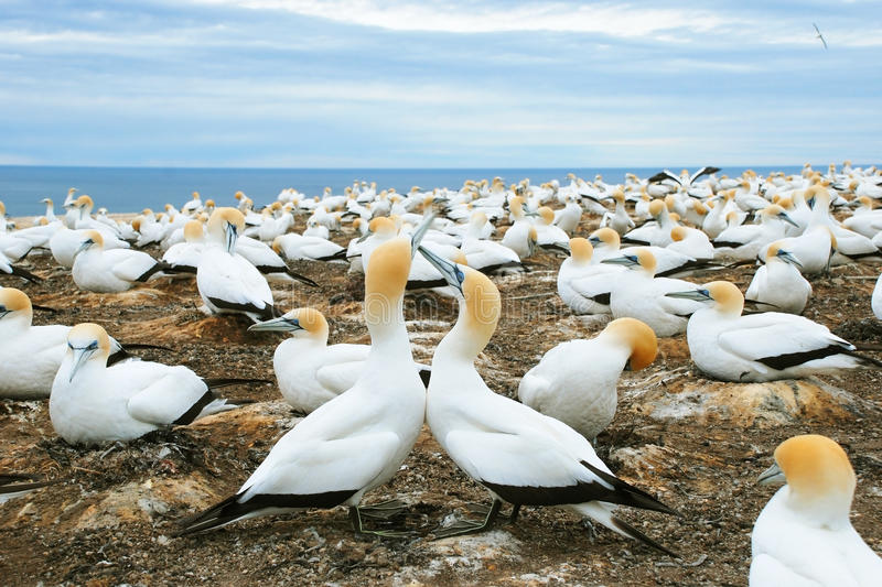Gannets royalty free stock image