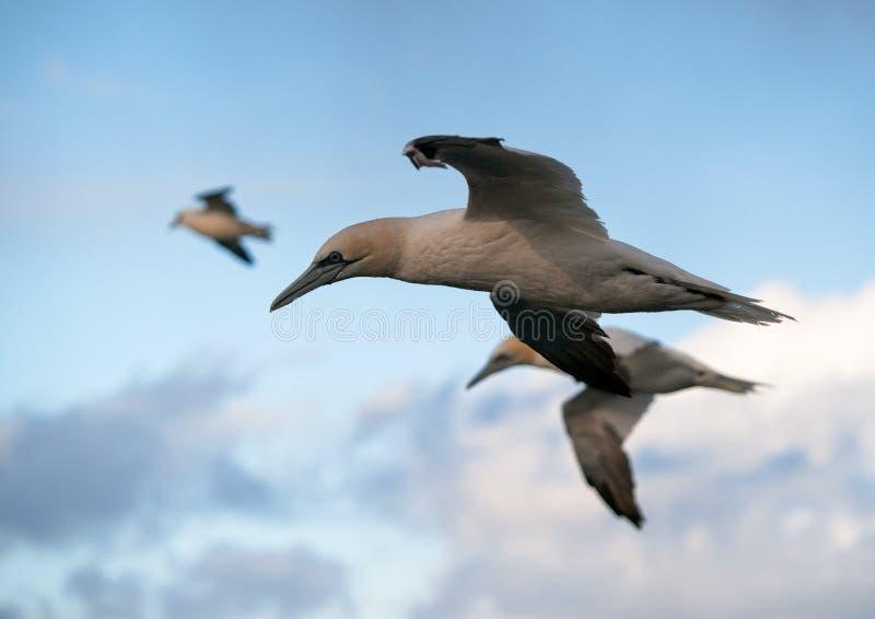 gannets 库存照片