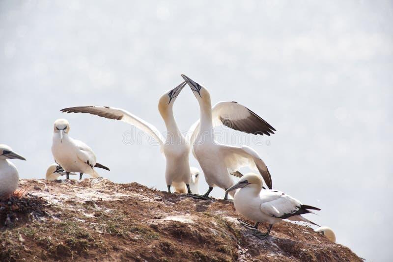 gannets fotografía de archivo libre de regalías