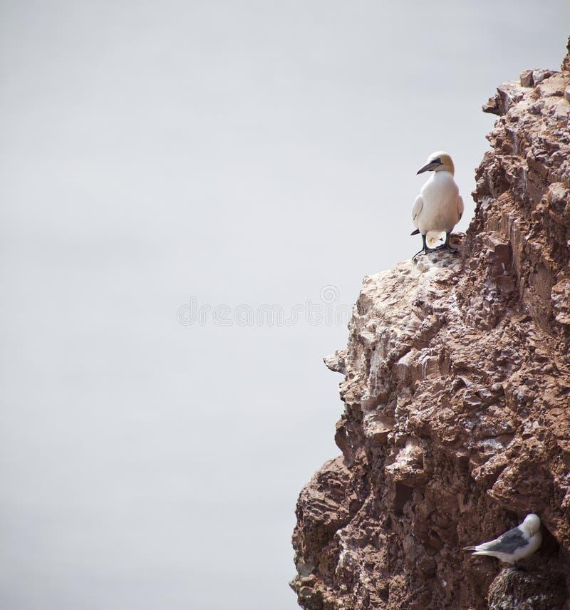 gannets fotos de archivo libres de regalías