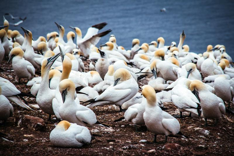 Gannets birds colony at Bonaventure Island Quebec Canada at summer royalty free stock photo