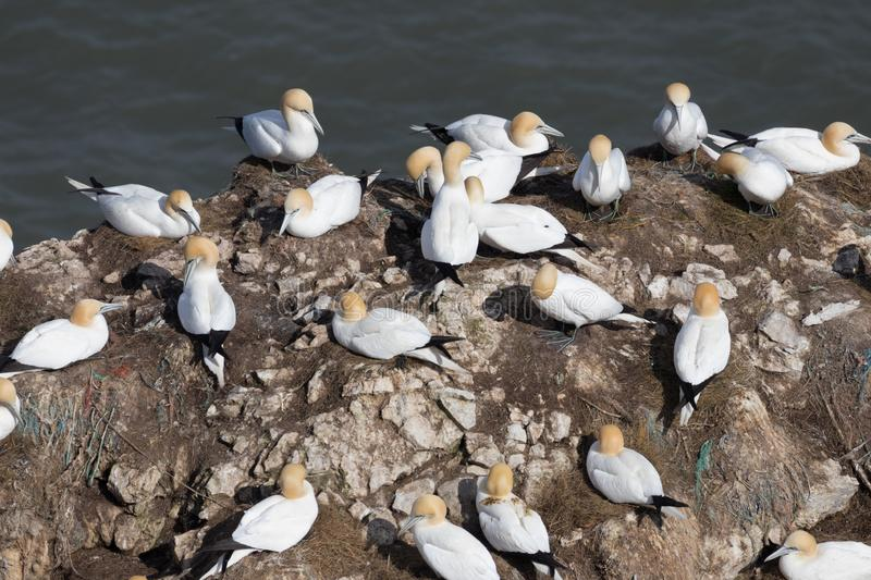 Gannets on a cliff top at Bempton Cliffs on the Yorkshire coast in the UK. A colony of Gannets on a cliff top at Bempton Cliffs on the Yorkshire coast in the UK stock image