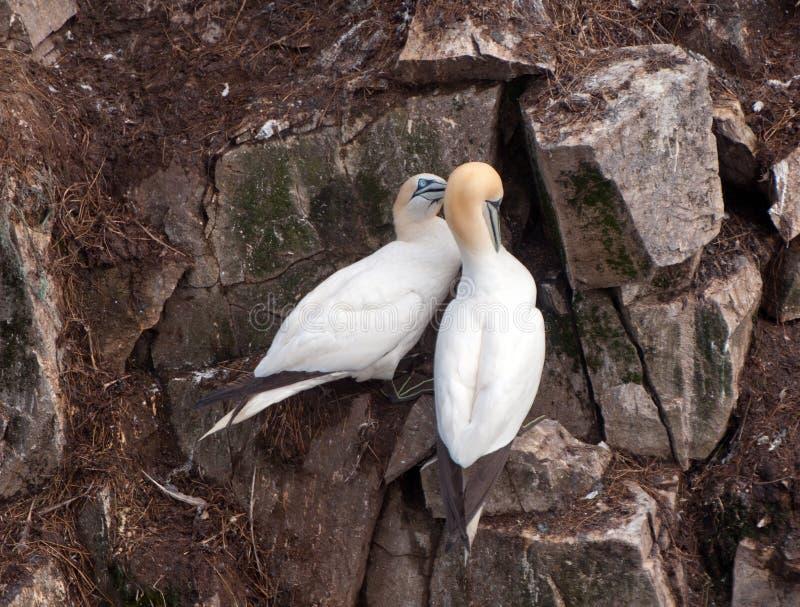 Gannets de acoplamento em um afloramento de rocha imagem de stock royalty free