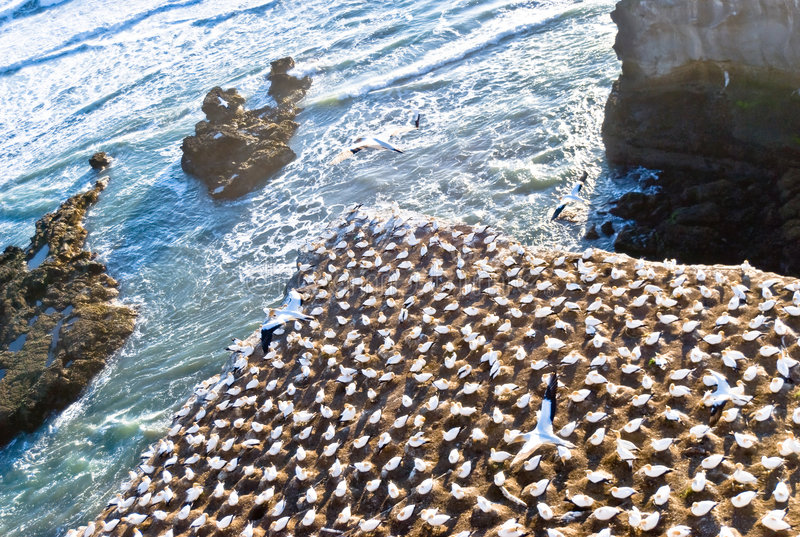 gannets de colonie photographie stock libre de droits