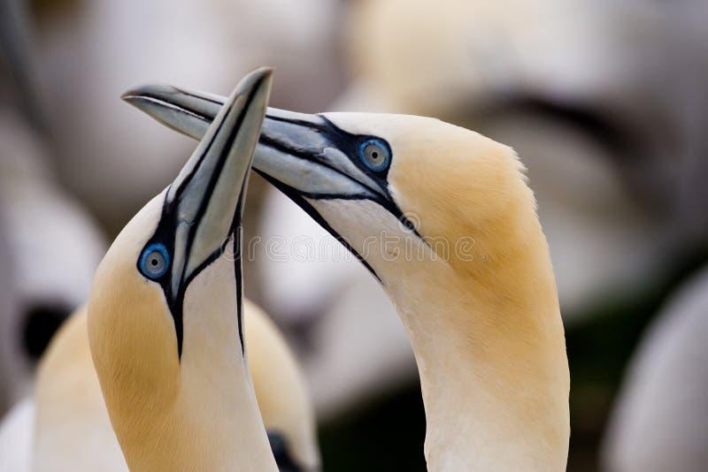 Gannets do norte fotografia de stock