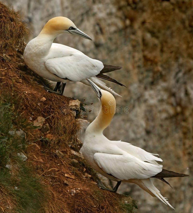 Gannets en la ladera fotos de archivo libres de regalías